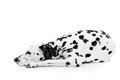 Dalmatian dog isolated on white beauty background Royalty Free Stock Photo