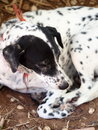 Dalmatian dog laying on a floor no purebred muddy Stock Image