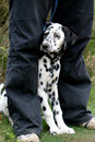 Dalmatian dog between legs Stock Photo