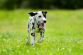 Dalmatian dog outdoors in summer Royalty Free Stock Photo
