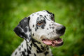 Dalmatian dog portrait of sitting in the grass Royalty Free Stock Image