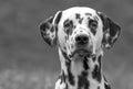 Dalmatian Dog Puppy Head On In...
