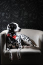 Dalmatian dog in a red bow tie on a white chair in a steel-gray interior. Hard studio lighting. Artistic portrait Royalty Free Stock Photo