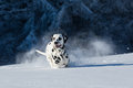 Dalmatian dog running in snow and jumping Royalty Free Stock Photo