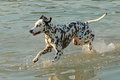 Dalmatian dog running through the water in a lake Royalty Free Stock Photo