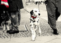 Dalmatín pes