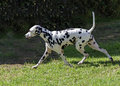 Dalmatian dog a young beautiful running on the lawn distinctive for its white and black spots on its coat and for being alert Stock Photos