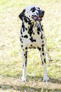 Dalmatian dog a young beautiful standing on the grass distinctive for its white and black spots on its coat and for being alert Royalty Free Stock Image