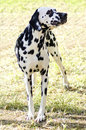 Dalmatian dog a young beautiful standing on the grass distinctive for its white and black spots on its coat and for being alert Stock Image