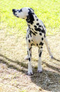 Dalmatian dog a young beautiful standing on the grass distinctive for its white and black spots on its coat and for being alert Stock Photo