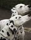 Dalmatian dogs Stock Images