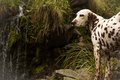 Dalmatian in front of a waterfall at cotopaxi national park ecuador Stock Photo