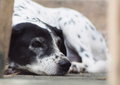 Dalmatian head shot close up of a black and white dog no purebred laying on the gray color concrete garage floor outdoor under Royalty Free Stock Image