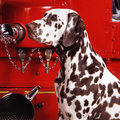 Dalmatian headshot of a dog sitting in front of a bright red fire truck Royalty Free Stock Photography