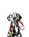 Dalmatian is holding the leash Royalty Free Stock Photo