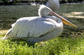 Dalmatian Pelican 4 Royalty Free Stock Images