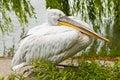 Dalmatian pelican copenhagen denmark july in copenhagen zoo on july in copenhagen Royalty Free Stock Photo