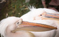 Dalmatian pelican head closeup on the background of the second bird Stock Photography
