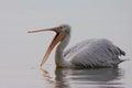 Dalmatian pelican pelecanus crispus fished front of the lens Stock Images