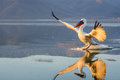 Dalmatian pelican Pelecanus crispus Royalty Free Stock Photo