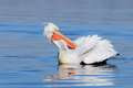 Dalmatian pelican preening a pelecanus crispus on the water surface is its feathers Stock Photography