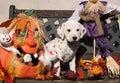 Dalmatian Puppy In Halloween D...