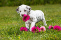 Dalmatian puppy in a meadow Stock Photography