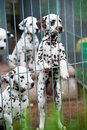 Dalmatian puppy puppies in a kennel Royalty Free Stock Photo