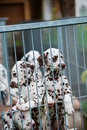 Dalmatian puppy puppies in a kennel Stock Photography