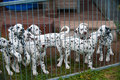 Dalmatian puppy puppies in a kennel Stock Images