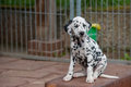 Dalmatian puppy sitting in a kennel Royalty Free Stock Photos