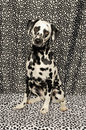 Dalmatian on Spots Stock Photo