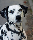 Dalmation Royalty Free Stock Photo