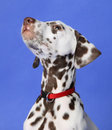 Dalmation Royaltyfri Bild