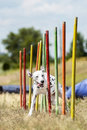 Dalmation demonstrates  weave poles at agility competition Royalty Free Stock Photo