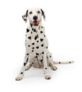 Dalmation dog with heart shaped spots dalmatian black on its fur sitting on a white background Stock Image