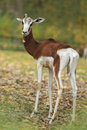 Dama gazelle the female of in the grass Royalty Free Stock Images