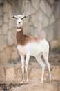 Dama gazelle gasella full body portrait Royalty Free Stock Image