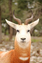 Dama gazelle Portrait Royalty Free Stock Photo