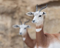 Dama gazelles two gasella Royalty Free Stock Photos