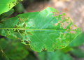 Damage leaf in nature eaten by pests close up Stock Images