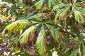 Damage to the leaves of the chestnut miner moth Cameraria ohridella . Royalty Free Stock Photo