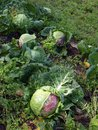 Damaged cabbages leaves by different cabbage pests Stock Images
