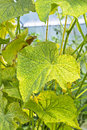 The Damaged Leaves Of Cucumber...