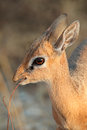 Damara dik dik antelope portrait of small dara madoqua kirkii etsosha national park namibia Stock Images