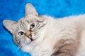 Dame chat de la race thaïlandaise Image libre de droits