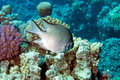 Damsel-Fish (amblyglyphidodon leucogaster) Stock Images