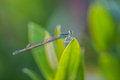 Damsel flies on green leaf Stock Photography