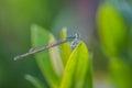 Damsel flies on green leaf Stock Photography