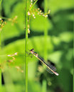 Damsel Fly Royalty Free Stock Image